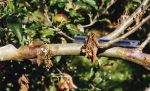 Crown rot in apples