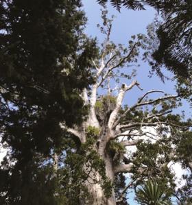 Kauri dieback